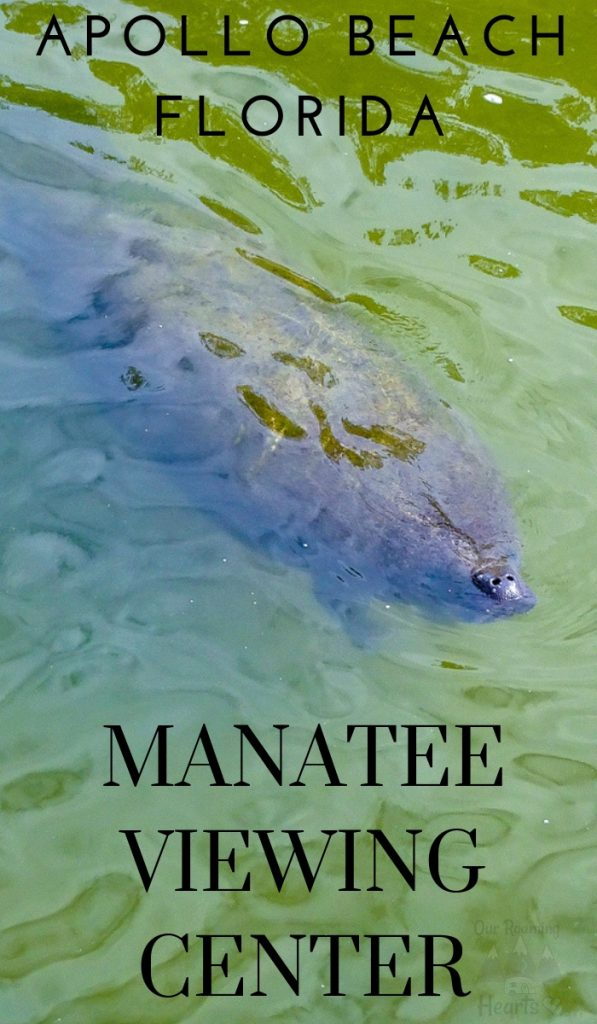 Looking for things to do in Tampa? I came across was this Manatee Viewing Center. It's free to do and is pretty popular. Our kids loved it! #tampa #manateeviewingcenter #manatee #ourroaminghearts | Free things to do in Tampa | Florida Travel | Traveling with Kids | Frugal Travel