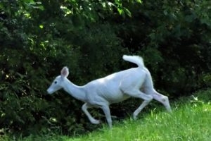 Tour Seneca White Deer Park at the Seneca Army Depot, which has quite an amazing story. All this started in 1941 and there is a great story. #senecawhitedeer #senecaarmydepot #ourroaminghearts #newyork   New York Travel   Things to do in New York   Seneca White Deer